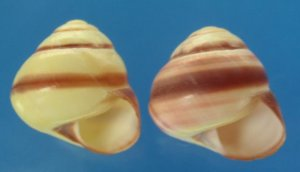 Landsnail- Helicostyla annulata Sowerby, 1840 # 38565, 010501