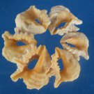 B559 Cut shells - Drupa grossularia-01, 1 oz.