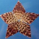 B573 Cut shells- Gloripallium pallium-05, 12 pcs.