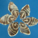 B581 Cut shells - Semiricinula turbinoides-01,  1 oz.