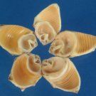 B562 Cut shells - Thais alouina-05, 1 oz.