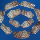 B567 Craft shells- Arca navicularis valves-01, 1 oz