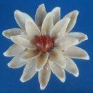 B549 Cut shells- Cypraea isabella-02,  1/2 oz.