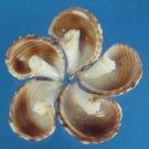 B581 Sailors Valentine Craft shells - Planaxis sulcatus-02, 1 oz