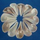 B621 Cut shells- Strombus turturella-01,  1 oz.