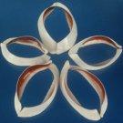 B678 Craft shells - Ovula ovum-02, 3 pcs