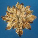 B575 Craft shells - Peristernia luchuana, 1 oz