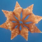 Craft shells - Pleuroploca trapezium shells, 8 pcs # 01-020809