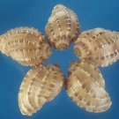 B587 Craft shells - Harpa articularis shells, 6 pcs