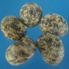 B587 Craftshells - Nerita albicilla, 1 oz