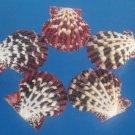 B574 Craftshells- Gloripallium pallium-01, 5 pairs