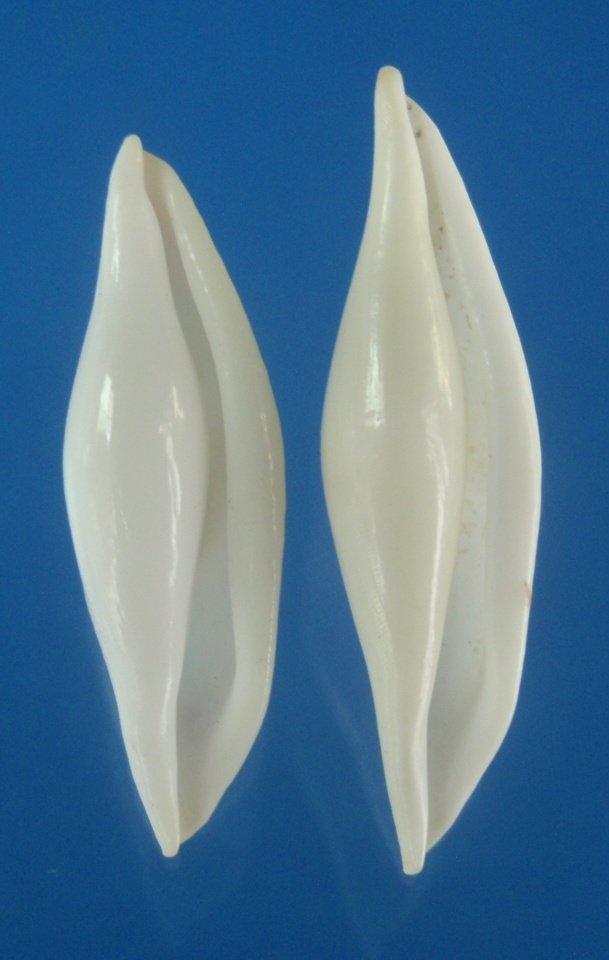 B787-28073 Seashell Pellasimnia improcera