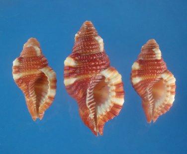 B766-29308 Seashell Cymatium rubeculum