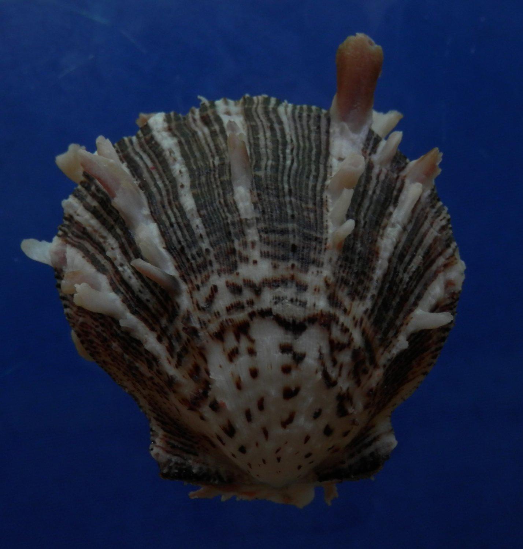 B769-30595 Seashell Spondylus sinensis