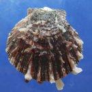 B769-30594 Seashell Spondylus sinensis