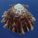 B769-30598 Seashell Spondylus sinensis