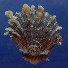 B769-30601 Seashell Spondylus sinensis