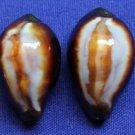 B769-30728 Cypraea onyx
