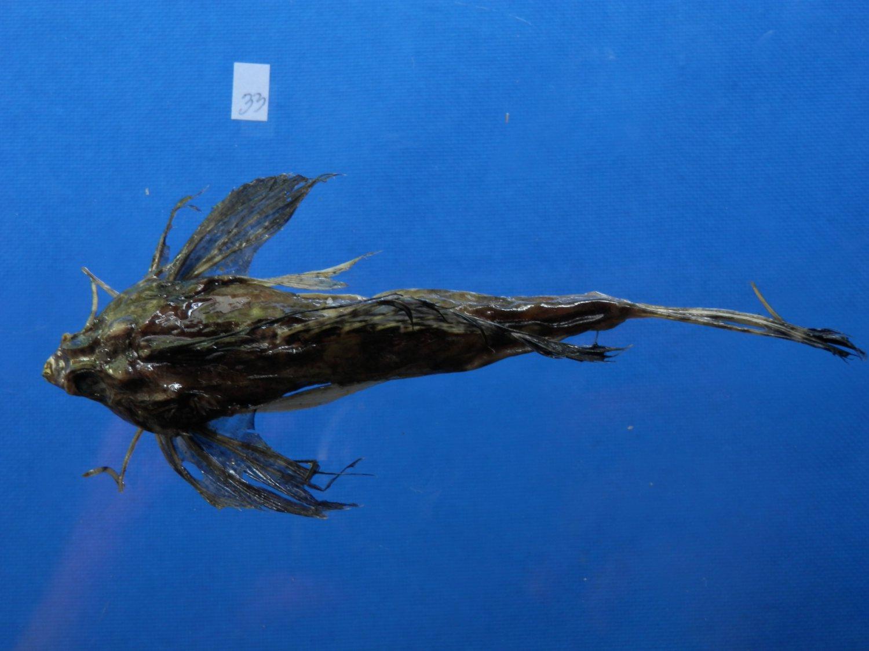 B770-30906 Fingered dragonet - Dactylopus dactylopus