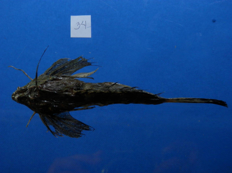 B770-30907 Fingered dragonet - Dactylopus dactylopus