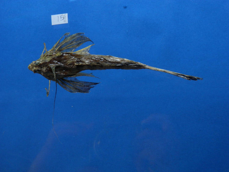 B771-31044 Fingered dragonet - Dactylopus dactylopus