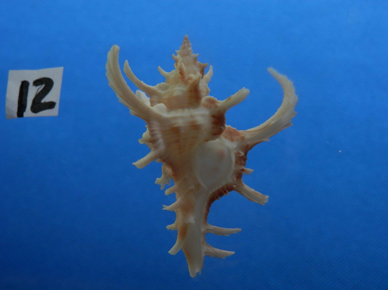 B776-31628 Seashell Chicoreus axicornis