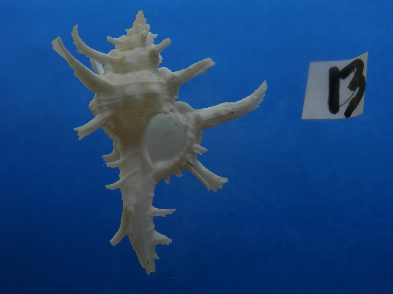 B776-31629 Seashell Chicoreus axicornis