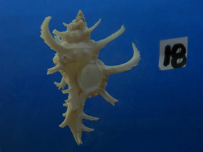 B776-31634 Seashell Chicoreus axicornis