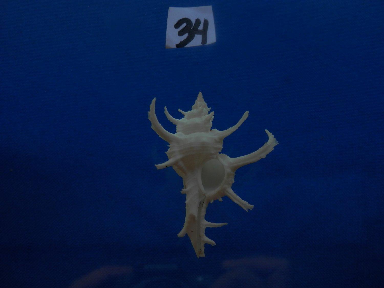 B776-31650 Seashell Chicoreus axicornis