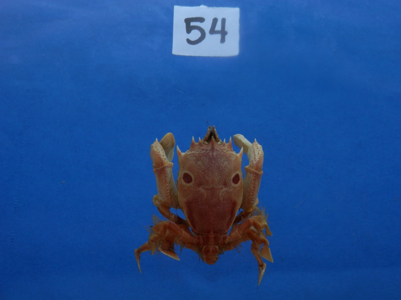 B776-31697 Spanner crab - Notopus dorsipes