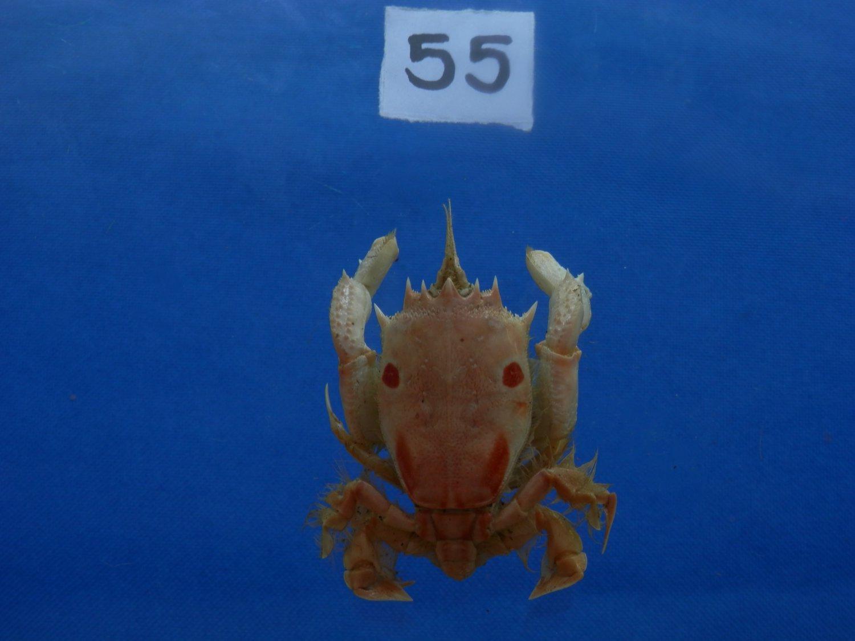 B776-31698 Spanner crab - Notopus dorsipes