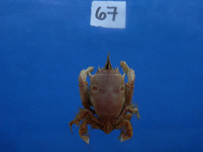 B776-31713 Spanner crab - Notopus dorsipes