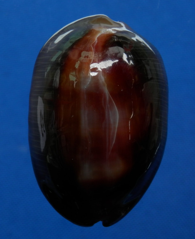 B777-31949 Seashell Cypraea ventriculus,  50.9 mm