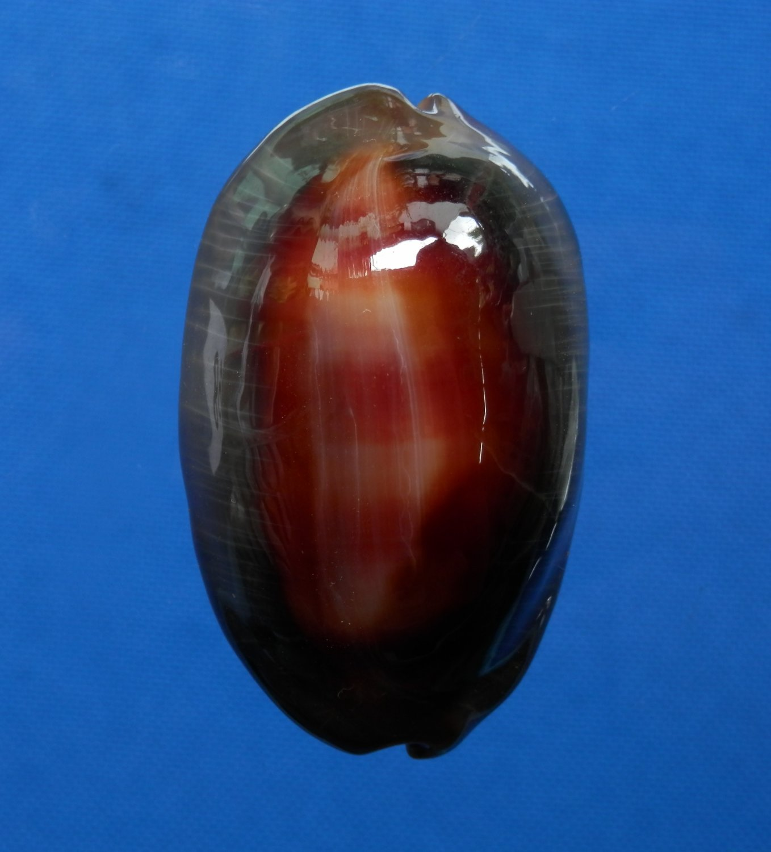 B777-31954 Seashell Cypraea ventriculus, 50.7 mm