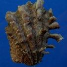 B777-31975 Seashell Cardita crassicosta