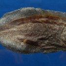 B780-32667 Peacock sole - Pardachirus pavoninus, 113 mm