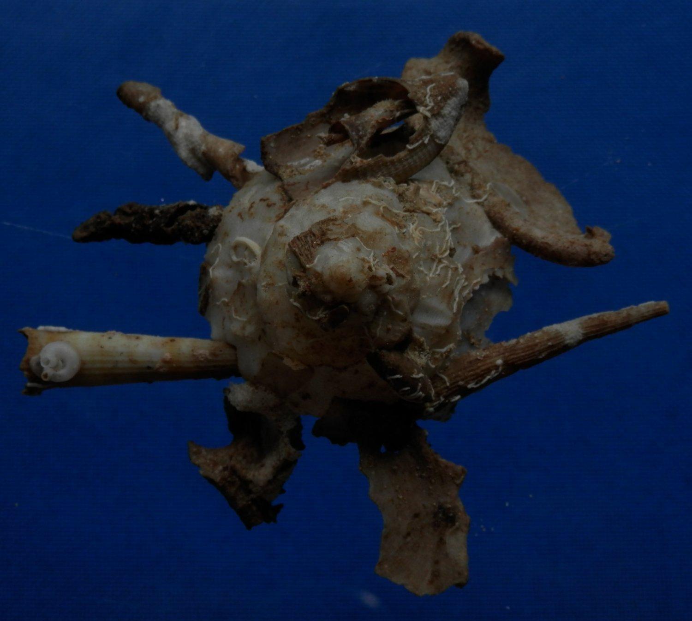B783-32858 Seashell Xenophora pallidula