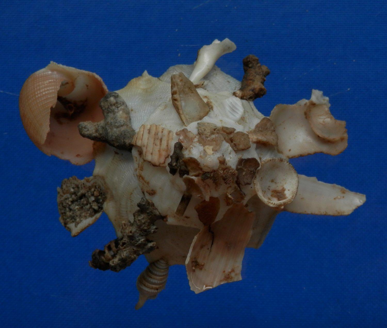 B783-32863 Seashell Xenophora pallidula