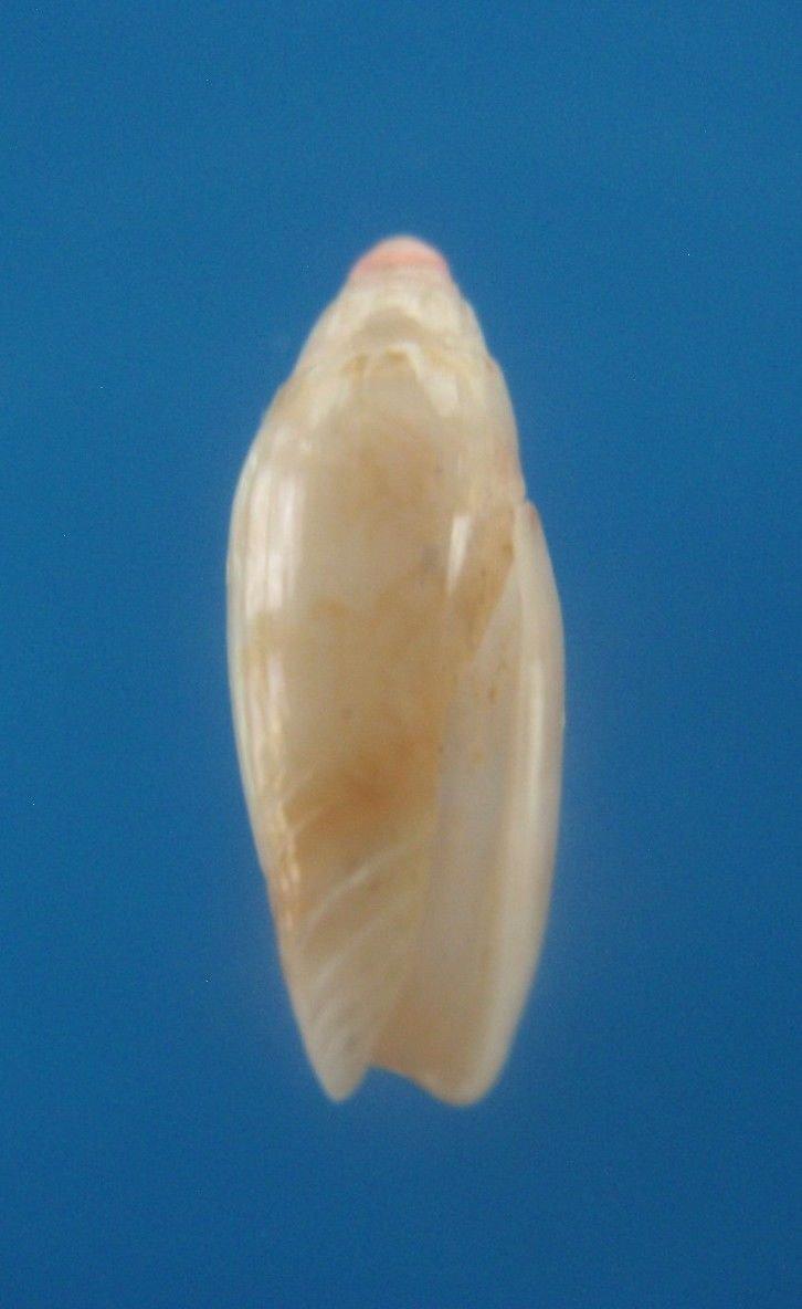 B783-33241 Seashell Oliva lacanientai