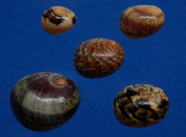 B784-33701 Seashell Nerita polita