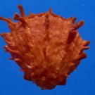 B785-33919 Seashell Spondylus sinensis ,ORANGE
