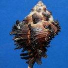 B785-33987 Hexaplex cichoreum f. depressospinosus