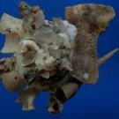 B786-34045 Seashell Xenophora pallidula