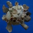 B786-34046 Seashell Xenophora pallidula