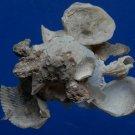 B788-34408 Seashell Xenophora pallidula