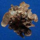 B789-34723 Seashell Xenophora pallidula