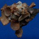 B789-34726 Seashell Xenophora pallidula