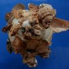 B790-34761 Seashell Xenophora pallidula