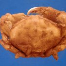 B794-35888 Sponge crab - Dromia wilsoni female, Fulton & Grant, 1902