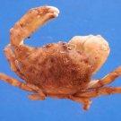 B794-35832 Sponge crab - Dromia wilsoni female, Fulton & Grant, 1902